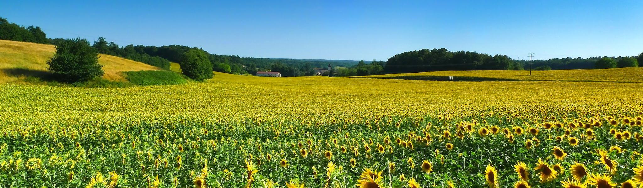 Zonnebloemvelden Frankrijk