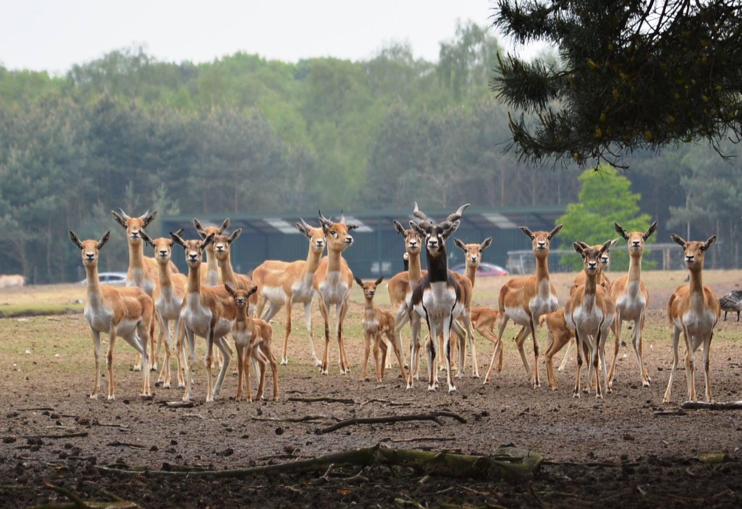 Safaricamp De Beekse Bergen Okapi's