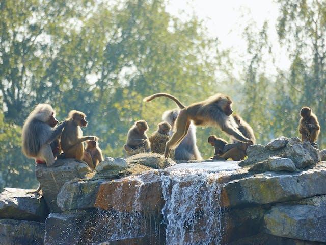 SafariCamp de Beekse Bergen bavianen