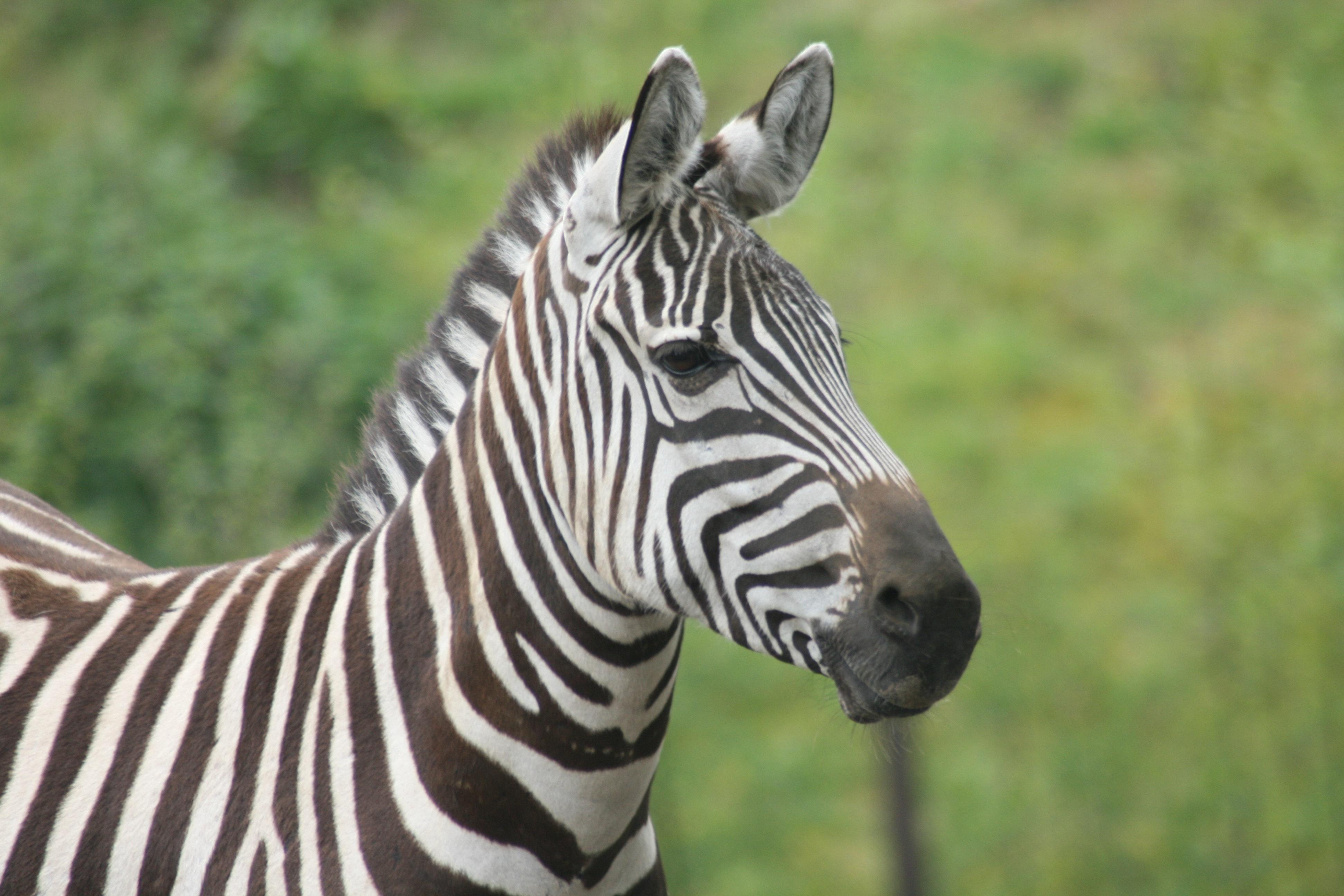 SafariCamp de Beekse Bergen zebra