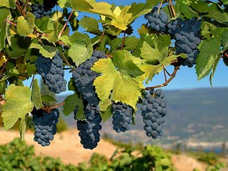 druiven in toscane