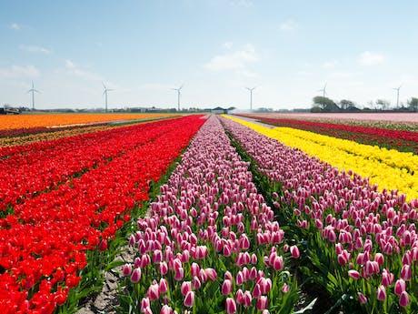bloemenvelden nederland