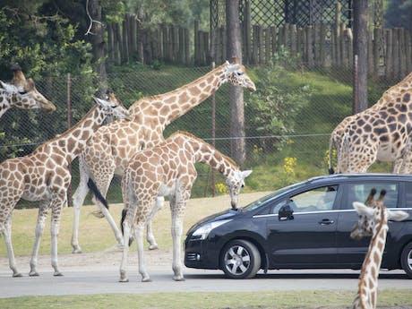 Beekse bergen rijden tussen giraffen