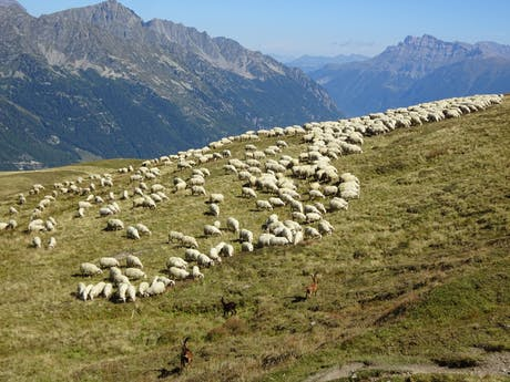 Wandelvakantie Mont Blanc West schapen