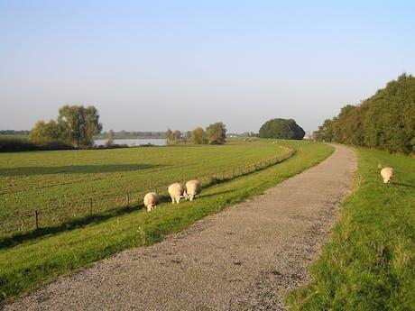 Hollandse Rijn de schaapjes
