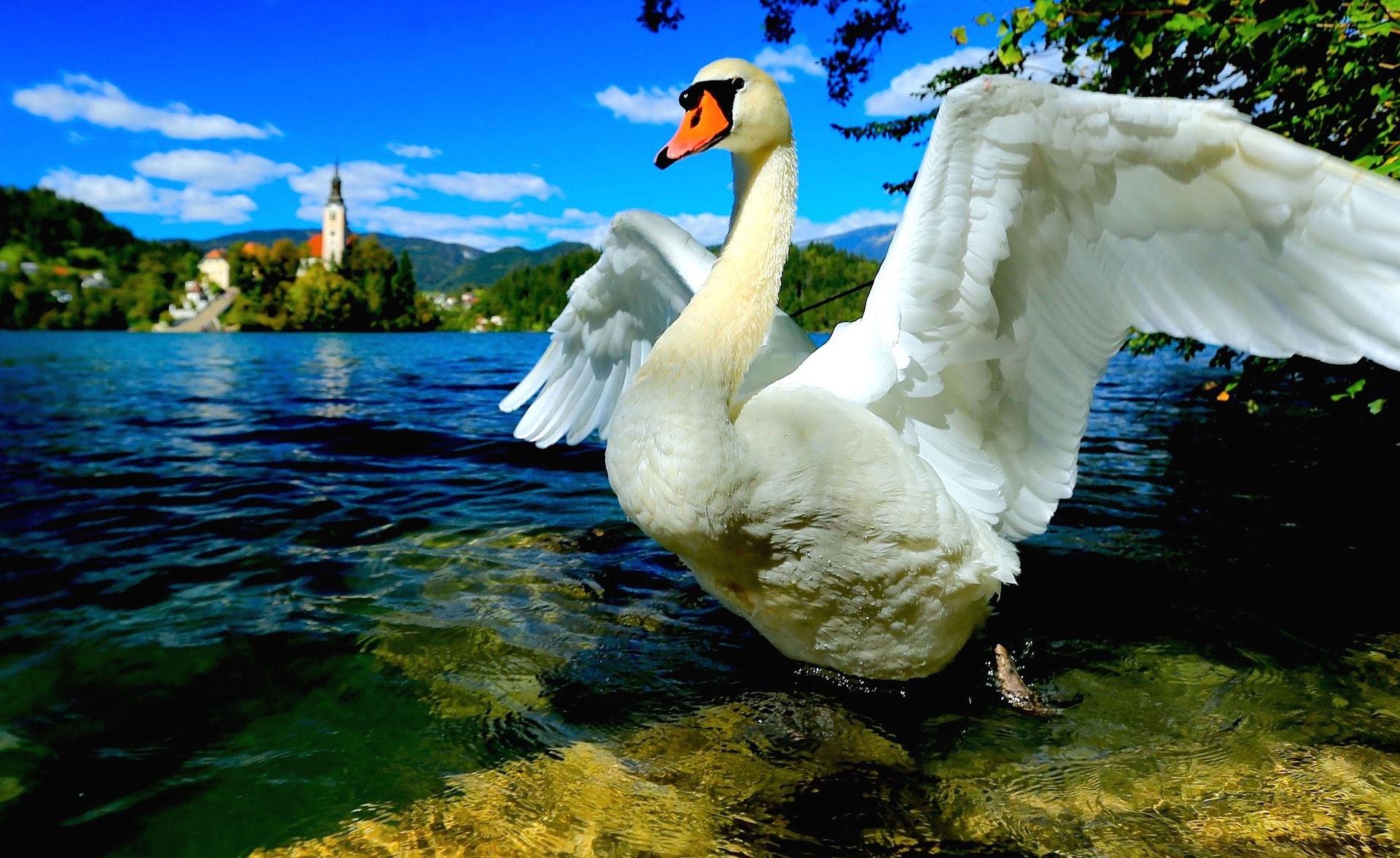 slovenia swan lake bled