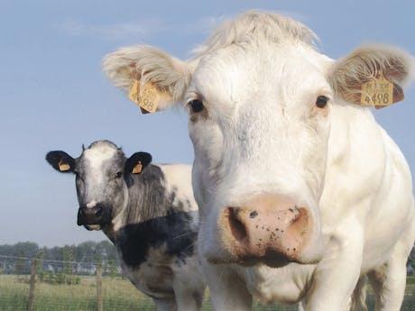 Koeien Nederland algemeen
