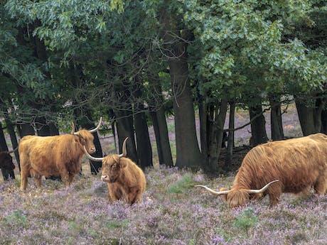 Schotse Hooglanders Veluwe Wezepsche Heide