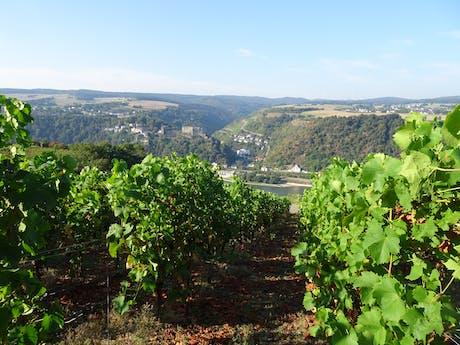 Rheinsteig Rijnblik met wijnranken